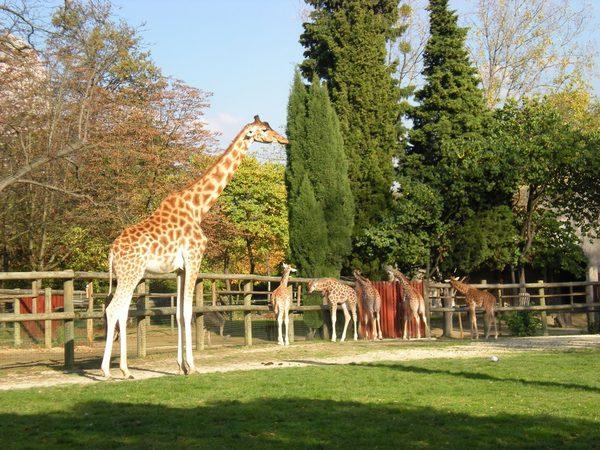 Венсенский зоопарк, жирафы
