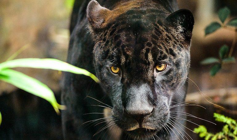 Пантера, Венсенский зоопарк