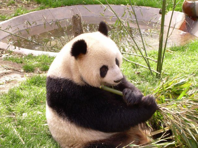 Венсенский зоопарк, панда
